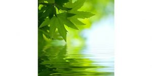 green maple leave over calming water